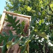 Μέλι βελανιδιάς
